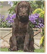 Chocolate Labrador Puppy Wood Print