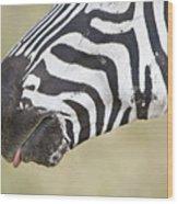 Close-up Of A Burchells Zebra Equus Wood Print