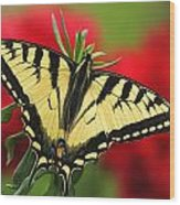 Close Up Of A Canadian Tiger Wood Print