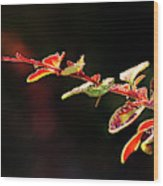Close Up Of Berberis  Quebec, Canada Wood Print