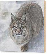 Close-up Of Bobcat Lynx Looking At Camera Wood Print by Sylvie Bouchard