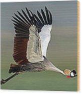Close-up Of Grey Crowned Crane Wood Print
