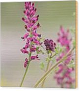 Common Fumitory Wood Print