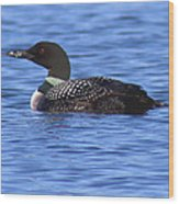 Common Loon Swimming  Wood Print