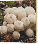Common Puffball Mushrooms Lycoperdon Perlatum Wood Print