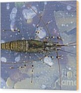 Common Shrimp Wood Print