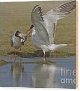 Common Tern Sterna Hirundo Wood Print by Eyal Bartov