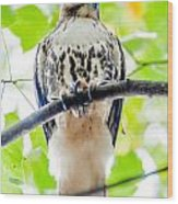 Coopers Hawk Perched On Tree Watching For Small Prey Wood Print