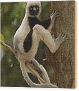 Coquerels Sifaka Madagascar Wood Print