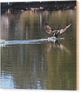 Cormorant Landing Wood Print