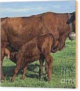 Cows Salers Wood Print