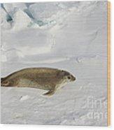 Crabeater Seal, Antarctica Wood Print