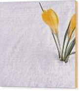 Crocus In Snow Yellow Wood Print