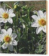 Dahlia Named Alpen Cherub Wood Print