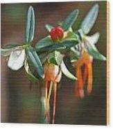 Darwinia Citriodora Wood Print
