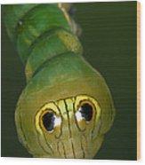 Dead-leaf Moth Caterpillar Eye Spots Wood Print