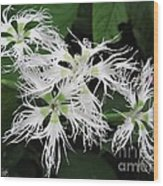 Dianthus Superbus - White Wood Print