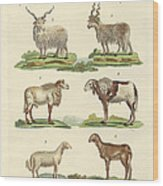Different Kinds Of Sheep Wood Print