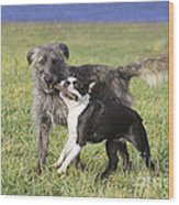 Dogs Playing With Stick Wood Print