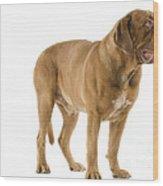 Dogue De Bordeaux Wood Print