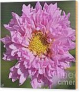 Double Click Cosmos Named Rose Bonbon Wood Print
