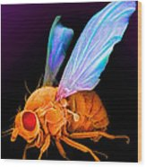 Drosophila Wood Print