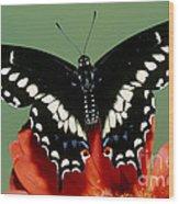 Eastern Black Swallowtail Butterfly Wood Print