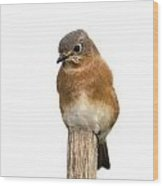 Eastern Bluebird 1 Wood Print