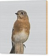 Eastern Bluebird 3 Wood Print