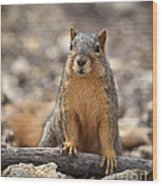 Eastern Fox Squirrel Wood Print