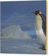 Emperor Penguins At Midnight Antarctica Wood Print