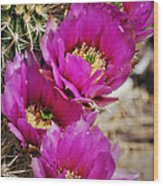 Engleman's Hedgehog Cactus Wood Print