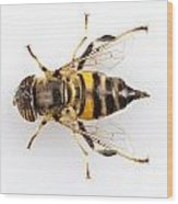 Eristalinus Taeniops Hoverfly Isolated Oin White Background Wood Print