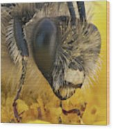 Eucera Longicornis Portrait 4.5x Wood Print