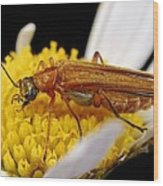 False Blister Beetle Wood Print by Science Photo Library