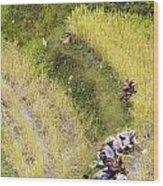 Farmers In Rice Field Wood Print