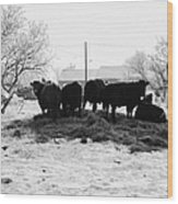feed and fresh grass laid out for cows on winter farmland Forget Saskatchewan Canada Wood Print by Joe Fox