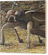 Female Adult Earwig, Sem Wood Print by Power And Syred