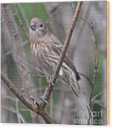 Female House Finch  Wood Print
