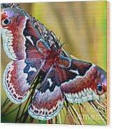 Female Promethea Moth Wood Print
