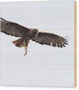 Female Red-tailed Hawk In Flight Wood Print