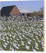 Flocks Of Snow Geese Wood Print