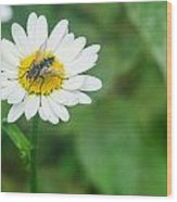 Fly On Daisy 3 Wood Print