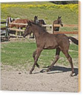 Foal Wood Print