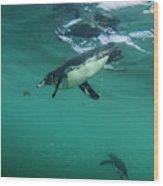 Galapagos Penguin (spheniscus Mendiculus Wood Print