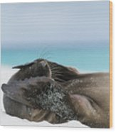 Galapagos Sea Lion Pup Covering Face Wood Print