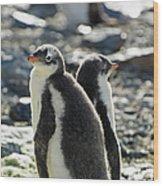 Gentoo Penguins Pygoscelis Papua Wood Print