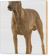 German Or Standard Pinscher Wood Print