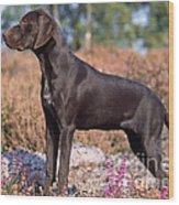 German Short-haired Pointer Puppy Wood Print
