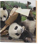 Giant Panda Ailuropoda Melanoleuca Pair Wood Print